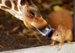 giraffe licks chipmunk